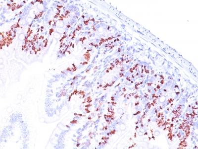 BRDU Antibody IHC Clone SPM537