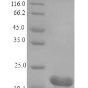 QP10167 Cardiotrophin-1 / CTF1