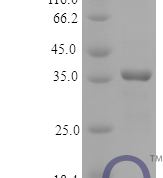 QP10176 Osteonectin / SPARC