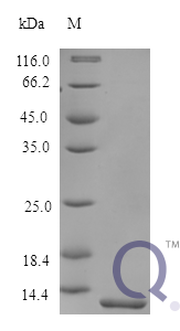 QP10187 Melanoma-derived growth regulatory protein