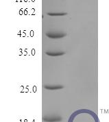 QP10188 Serum amyloid A-1 protein