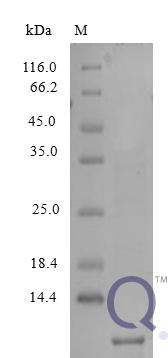 QP10212 NAP-2 / PPBP / CXCL7