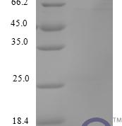 QP10220 C-X-C motif chemokine 17
