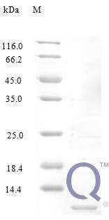 QP10225 C-C motif chemokine 3-like 1
