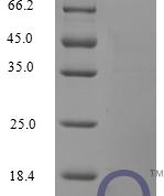 QP10226 CCL3 / Mip1a