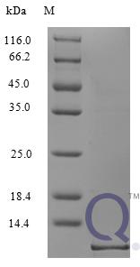 QP10229 CCL5 / RANTES