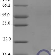QP10231 CCL8 / MCP-2