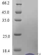 QP10232 CCL11 / Eotaxin