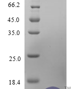 QP10233 CCL13 / MCP-4