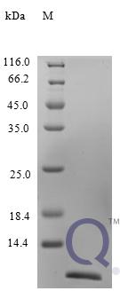 QP10239 CCL24 / Eotaxin-2 / MPIF-2