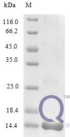 QP10240 C-C motif chemokine 25