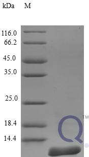 QP10247 Amyloid protein A