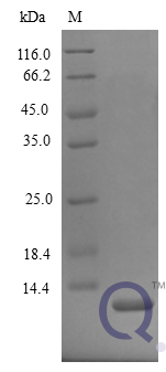 QP10249 CXCL2 / MIP-2