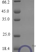 QP10251 CXCL3 / GRO gamma