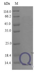QP10252 CXCL4 / PF4 Protein