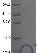 QP10255 CXCL9 / MIG / C-X-C motif chemokine 9