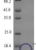 QP10259 CXCL12 / SDF-1