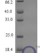 QP10262 Fractalkine / CX3CL1
