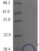 QP10269 C-C motif chemokine 9
