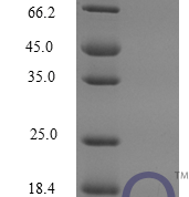 QP10271 CCL12 / MCP-5