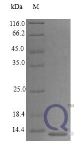 QP10275 C-C motif chemokine 21c