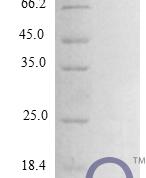 QP10277 CCL24 / Eotaxin-2 / MPIF-2