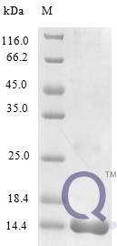 QP10278 C-C motif chemokine 25