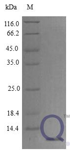 QP10287 CXCL12 / SDF-1 Isoform 1