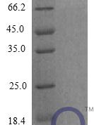QP10288 CXCL12 / SDF-1 Isoform 1