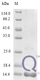 QP10303 IL16 / Interleukin-16