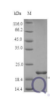 QP10361 Oncostatin M / OSM