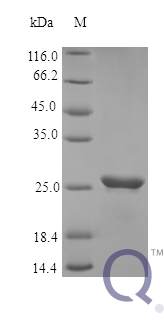 QP10363 Oncostatin M / OSM
