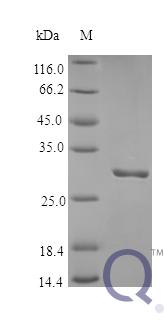 QP10364 Plasminogen