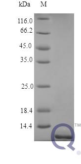 QP10365 TNFRSF17 / BCMA