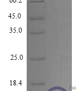 QP10394 EGF / Epidermal Growth Factor