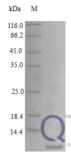 QP10397 Epiregulin / EREG