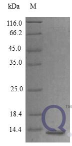 QP10399 Amphiregulin