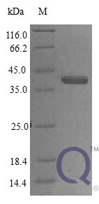 QP10401 Protein CYR61