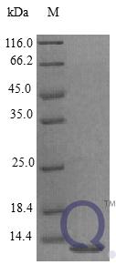 QP10402 EG-VEGF / prokineticin-1