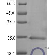 QP10403 IFN-alpha / IFNA1 / IFN