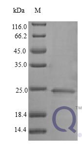 QP10404 IFN-alpha / IFNA1 / IFN