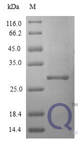 QP10406 Interferon alpha 2b