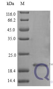 QP10407 Interferon alpha 2b