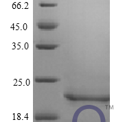 QP10408 IFNB1 / IFN-beta / Interferon beta
