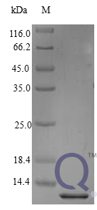 QP10416 BTC / Betacellulin