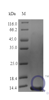 QP10419 Midkine / MDK Protein