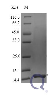 QP10421 Pleiotrophin / PTN / HB-GAM