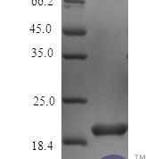 QP10436 IL36B / IL1F8