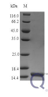 QP10462 IL21 / Interleukin 21