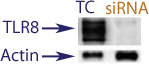 Western Blot data demonstrating successful knockdown of TLR8 in human cells 48 hours after treatment with QX27 siRNA (TC = Transfection Control, siRNA = QX27 treatment)